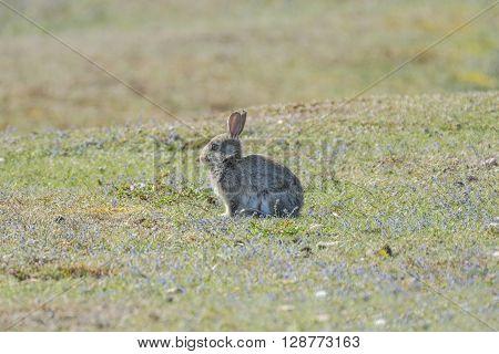 Wild rabbit basking in the morning sun