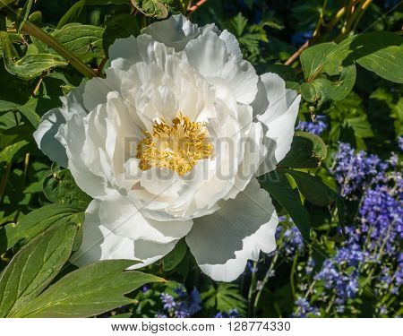 A macro shot of a white Camellia in bloom.