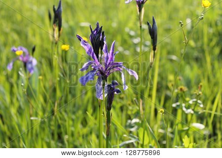 Wild blue iris flowers on the meadow ** Note: Shallow depth of field