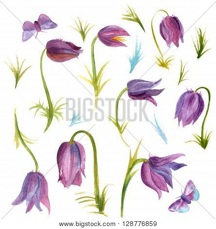 A set of purple Pasqueflower (Pulsatilla) blossoms and butterflies on white background a collection of botanical design elements