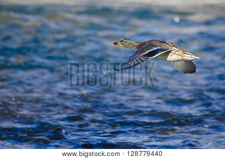 Mallard Duck Flying Low Over the River