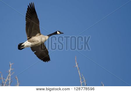 Canada Goose Flying Low Over the Winter Trees ** Note: Soft Focus at 100%, best at smaller sizes
