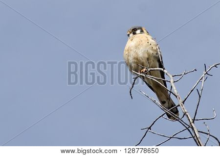 Male American Kestrel Surveying the Area While Perched High in a Tree