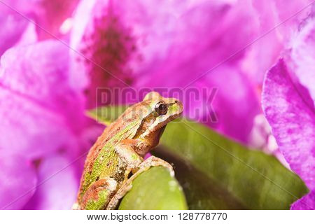 Close up of frog spring peeper on wild flowers during bright morning light. Light effect applied to image. Selective focus on eye.