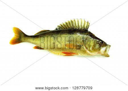 fresh perch fish isolated predator on white background