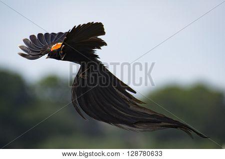 Widow bird in flight at Reitvlei reserve