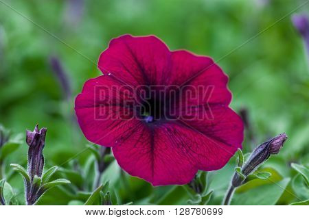 Beautiful Petunia a flower close-up on a background of green foliage.