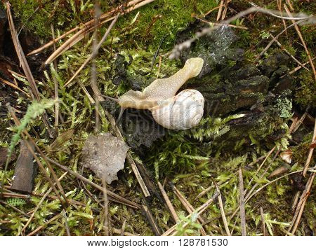 Burgundy snail on moss in the forest.