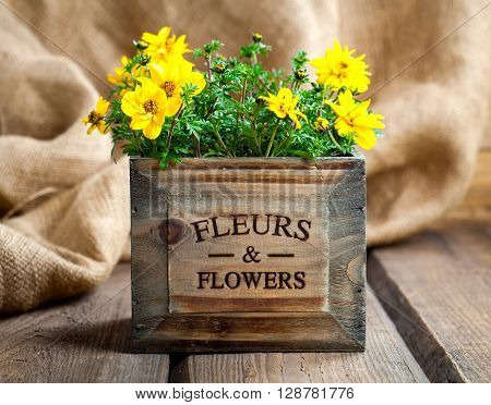 yellow flowers Goldmarie or Bidens ferulifolia or Bidens Goldilocks in a pot on wooden background