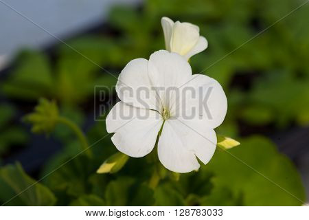One flower of white colour on green natural background.