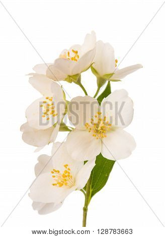 jasmine on a white background plant, scented,