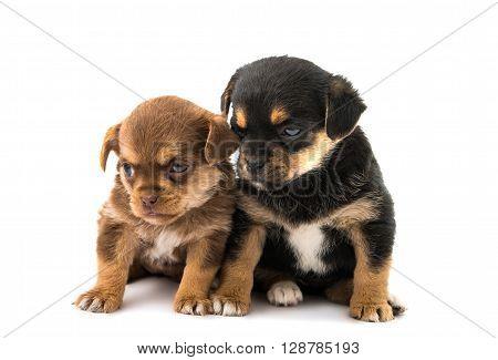 puppy isolated on white backgroundcutout, dog, doggy,