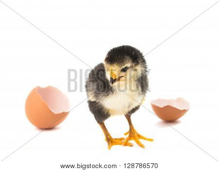 Little newborn baby chicken isolated on white