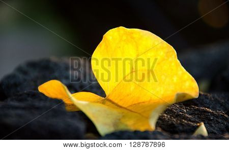 Big Yellow Leaf On Basalt Wall In Kona