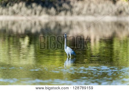 Little Blue Heron makes eye contact while foraging lagoon