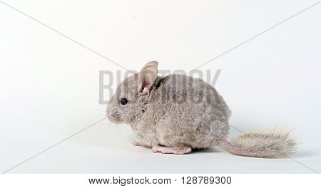 Gray small  chinchilla on a clear background