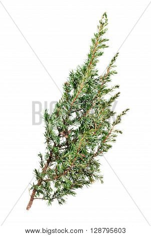 one branch taxus isolated on white background