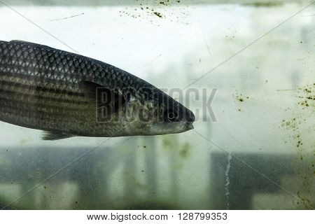 Closeup shot of live sea bass swimming in a fishpond