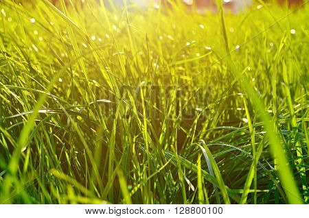 Natural spring background - closeup of fresh green grass on the lawn under bright sunlight. Landscape background lowest point shooting.
