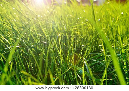 Spring natural background - closeup of fresh bright green grass on the lawn lit by shining sunbeams. Landscape background lowest point of shooting.