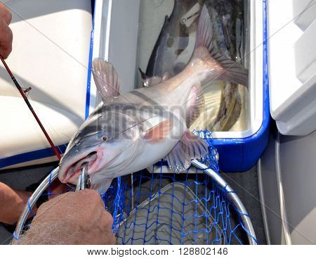 Fresh water catfish caught by a fisherman