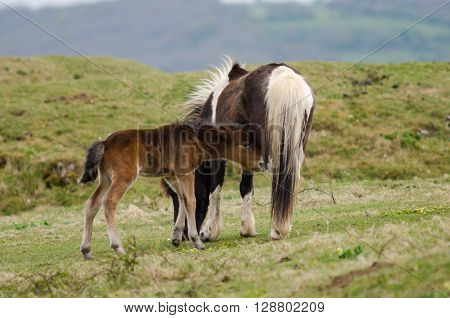 Dartmoor pony male foal sucking from mother. A wild mare provides milk to a baby standing still whilst he feeds