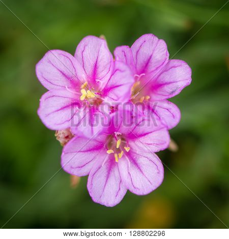 Sea thrift (Almeria maritima) flowers. Pink flowers of plant in family Pumbaginaceae growing on rocky British coastline
