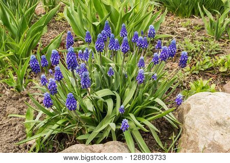 Perennial bulbous plant Muscari or murine hyacinth early spring. Russia.