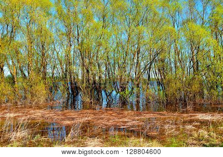 Sunny spring landscape - willow thicket flooded with spring flood river waters with reeds on the foreground. Spring colored landscape.