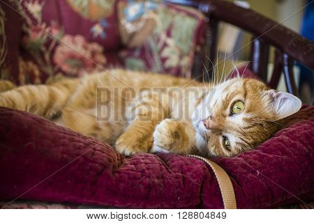 Orange tabby male cat playfully lying on a purple mauve antique or vintage chair