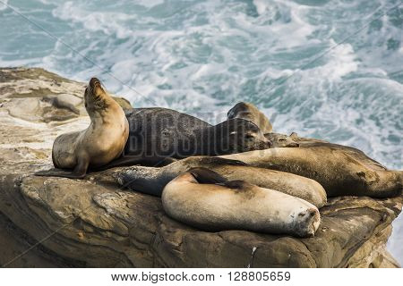 A group of sleeping sea lions on a cliff by the ocean with one arching its back during sunset  in La Jolla cove