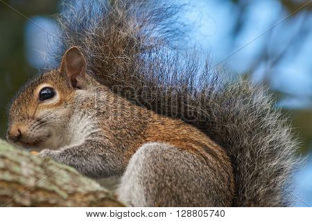 Extreme Close Up of Eastern Gray Squirrel on a tree branch