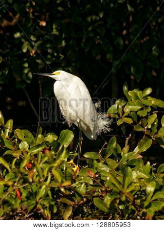 Snowy Egret head tilted in contemplation lost in thought