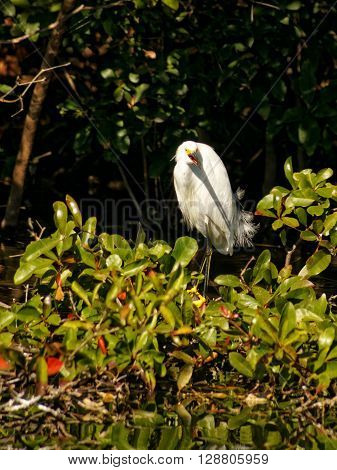 Snowy Egret with beak open standing on plant growing out of lake in front of foliage