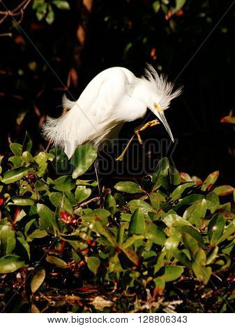 Snowy Egret with feather dust in upraised claw