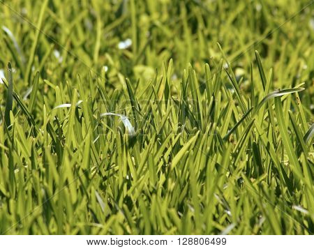 Overgrown tall green grass lawn for background