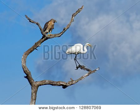 Red Shouldered Hawk looking at squawking Great Egret