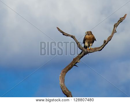 Frontal View of Red Shouldered Hawk perched on a dead tree with its head turned looking to its right and beak open