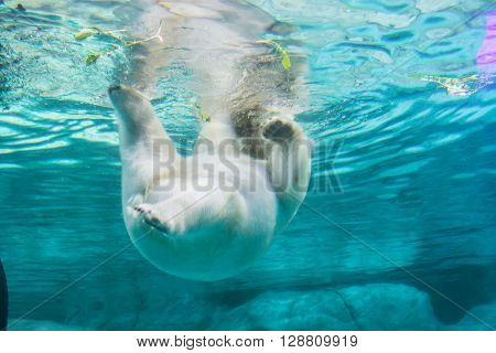 Polar Bear (also Known As Thalarctos Maritimus