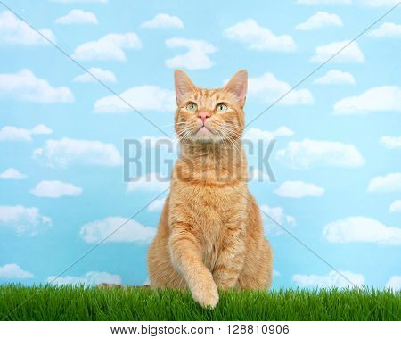 Orange ginger tabby cat sitting in tall grass reaching over blue background with clouds. Copy space