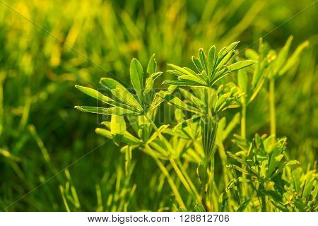 Green Lupin Leaves