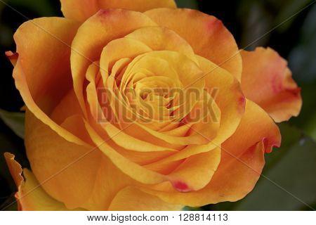 An orange rose in a detailed macro shot.