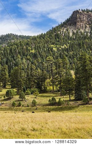Rural Country view with cows and pine forest in a Farm in Colorado, USA
