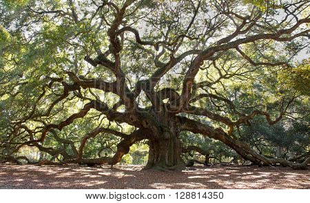 Angle Oak Tree of South Carolina  - The large 1500 year old tree with branches growing in every different direction.