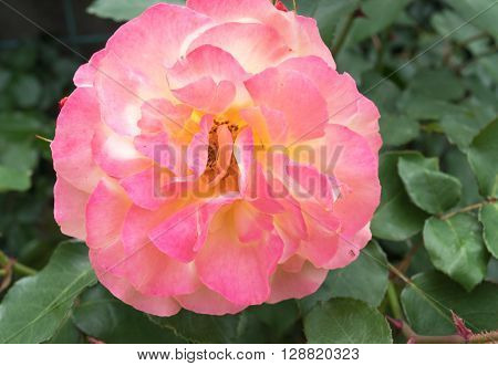 Beautiful tender pink rose. Love and Tenderness concept