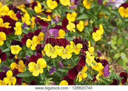 Flower pansy purple yellow. Love and Tenderness concept