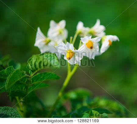 Blossom of potatoe flowers in the field