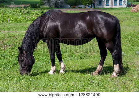 Black horse grazing in a meadow in the village.