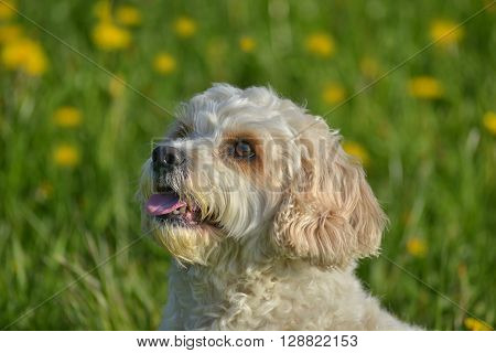 portrait of a little white dog on a spring meadow