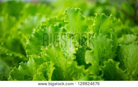 lettuce growing in the garden land, harvest, food,